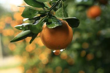 תפוז ישראלי (צילום: דורון הורוביץ)