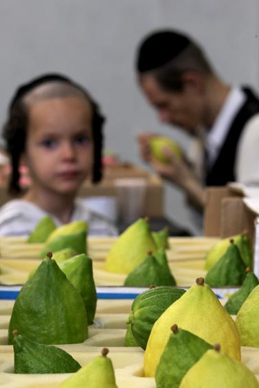 אתרוגים, ערב סוכות בארץ ישראל (צילום: נתי שוחט)