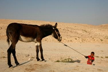 ילד בדואי מושך חמור (צילום: מרים אלסטר)