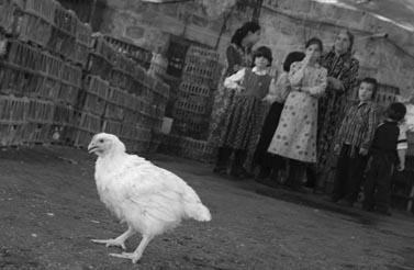 עוף, טרם קפוא. צילום: פלאש 90