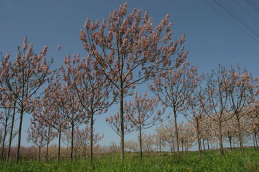 מנופי ארצנו: פריחת עצי שקד ליד קיבוץ שפיים (צילום: חן לאופולד)
