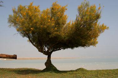 מנופי ארצנו: עץ בודד על חוף ים המלח (צילום: חן לאופולד)
