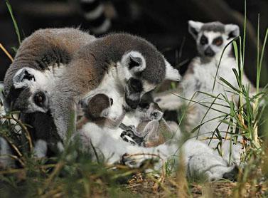 נקבת למור בספארי ברמת-גן ילדה אתמול תאומים (צילום: פלאש 90)