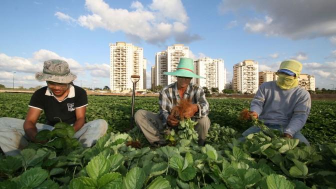פועלים מתאילנד קוטפים שתילי תות. 27.1.08 (צילום: אסף פרידמן)