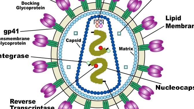 תרשים של נגיף האיידס. איור: US National Institute of Health (נחלת הכלל)
