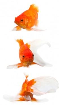 דגי זהב (צילום: שאטרסטוק)