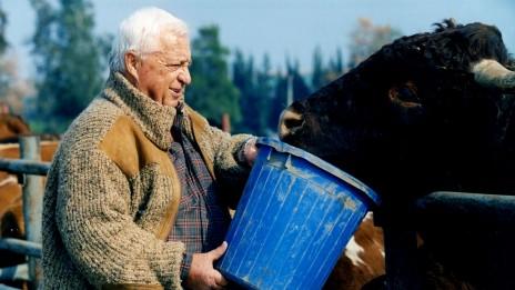 אריאל שרון מאכיל בן בקר. חוות השקמים, 1996 (צילום: משה שי)