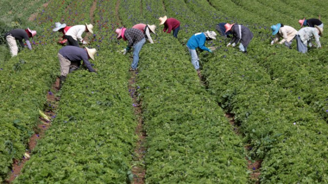 פועלים תאילנדים עובדים בשדה פרחים בעמק האלה, 13.2.10 (צילום: נתי שוחט)