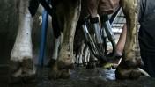 טלפיים, במקרה זה של פרות. רפיח, רצועת עזה (צילום: עבד רחים חטיב)
