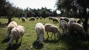 כבשים רועות בפאתי ירושלים, 4.4.14 (צילום: הדס פרוש)