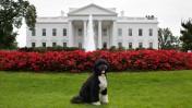 בו, הכלב הנשיאותי, על מדשאת הבית-הלבן (צילום: הבית-הלבן)