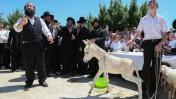 טקס פדיון פטר חמור, ישראל, אתמול (צילום: יעקב לדרמן)
