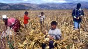 פרואנים עובדים בשדה תירס, 2003 (צילום: סרג' אטאל)